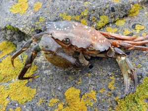 Krabbe, Bretagne