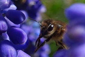 Traubenhyazinthen mit Biene
