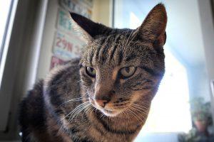 Hauskatze, Katze, Stubentiger